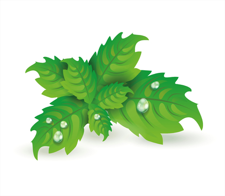 Fresh mint leaves isolated on white background, vector illustration.