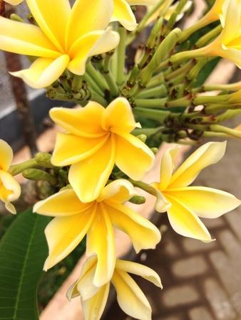 kamboja: frangipani flowers