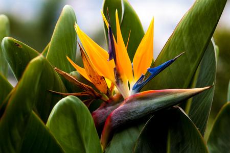bloom bird of paradise: madeira portugal flower Iceland strelizie