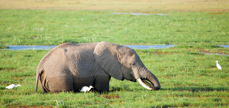 One elephant is standing in the swamp and eating grass, with white birds, on safari in Kenya