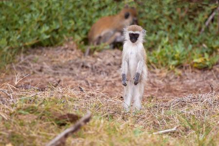 Monkey watching Stock Photo