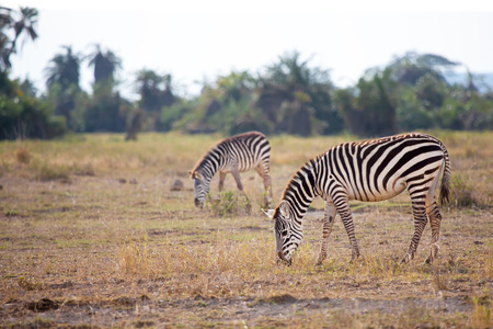 Some zebras are eating grass in the savannah in Kenya