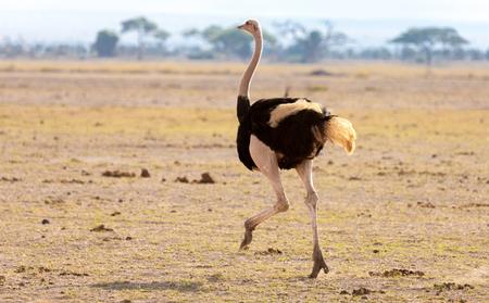 Een struisvogel loopt, op safari in Kenia Stockfoto