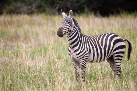 Zebra is standing in the savannah of Kenya