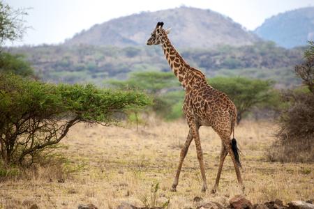 Giraffe is walking between the bushes in the savannah of Kenya