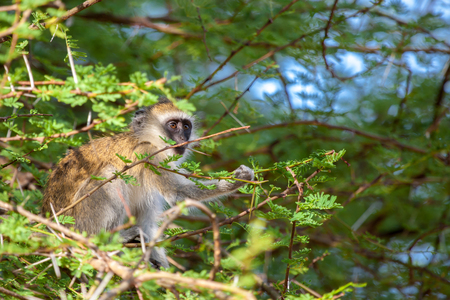 Monkey between the tree branches Stock Photo