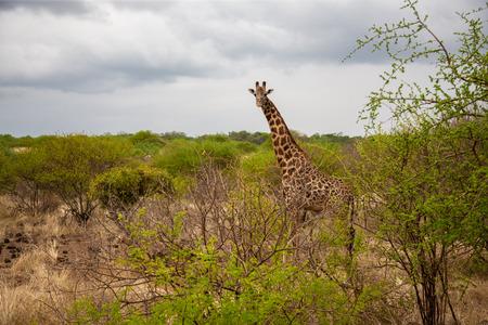 Giraffe watching you behind the bush