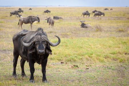 Buffalo standing in the savannah of Kenya Stock Photo