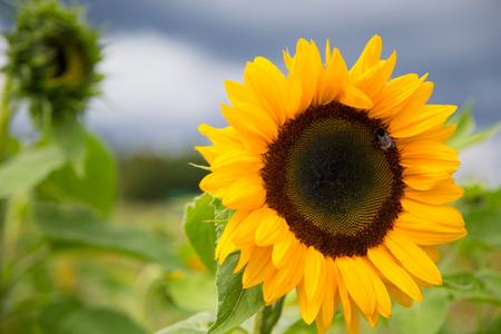 beatuful sunflowers on the field