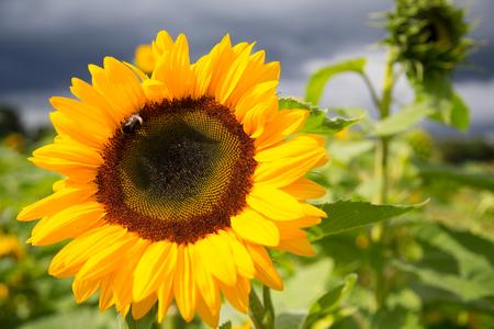 sunflowers in autumn Stock Photo