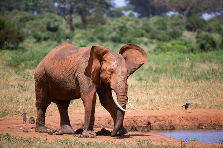 Elephants in the savannah near a water hole comes to drink