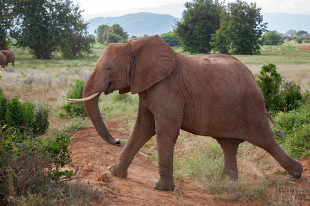 A big elephant is walking in the savannah with a red soil and a lot of green plants
