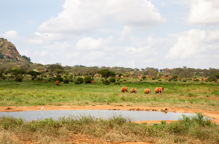 A red elephant family is coming to the waterhole, a lot of green plants