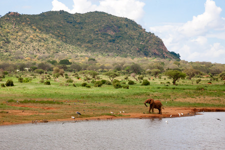 One red elephant on the waterhole is hunting the birds Stock Photo