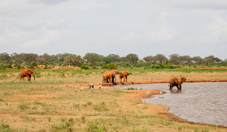 A lot of red elephants are on the waterhole Stock Photo