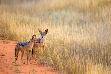 Jackal on the road in the savannah are posing and watching