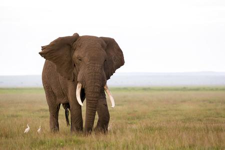Ein Elefant in der Savanne eines Nationalparks in Kenia