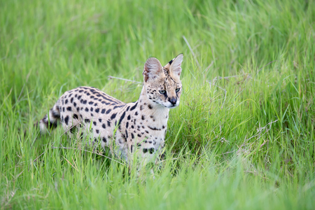 A serval cat in the grassland of the savannah in Kenya