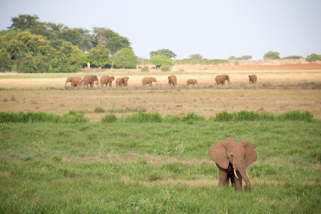 A lot of elephants are walking in the grassland of the savannah in Kenya Фото со стока