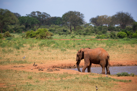 Elephant on the waterhole in the savannah of Kenya