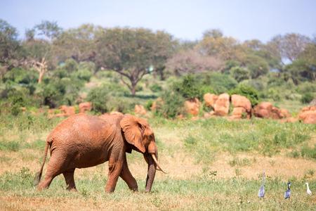 A red elephant is walking in the savannah of Kenya