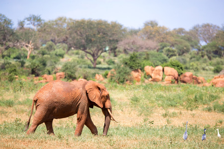 Un elefante rosso cammina nella savana del Kenya