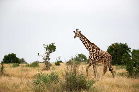 Some giraffe is walking between the bush in the scenery of the savannah 免版税图像
