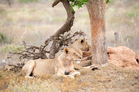 Some lions rest in the shade of a tree