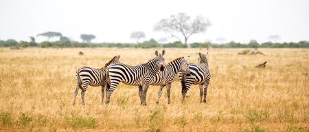 Zebra standing or walking throught the grassland