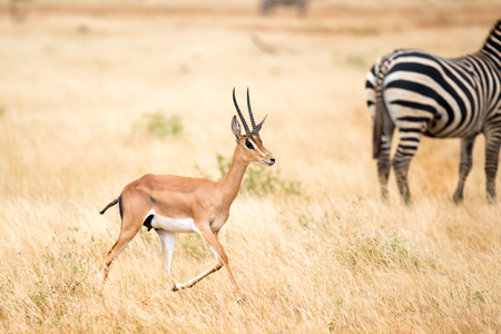 One antelope and some zebras in the savannah of Kenya Stok Fotoğraf