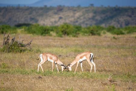 Some native antelopes in the grassland of the Kenyan savannah Stock Photo