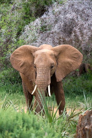 Gli elefanti rossi camminano nella savana tra le piante Archivio Fotografico