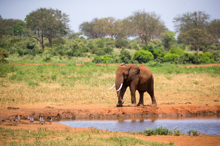 One big red elephant is walking on the bank of a water hole Imagens