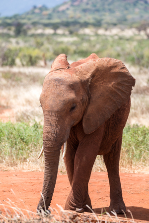 One young red elephant is standing in the savanna