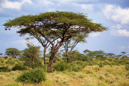 One big acacia tree between another bushes and plants