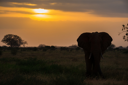 One elephant ist standing in the savannah at sunset