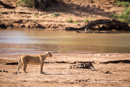 Some lions walk along the bank of a river