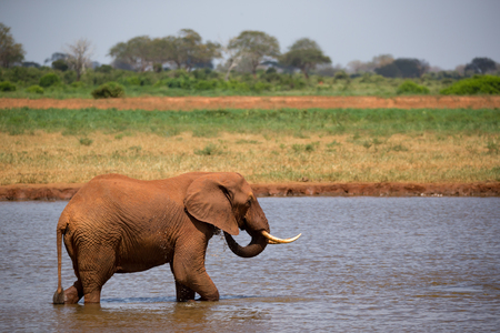 One red elephant drinks water from a water hole