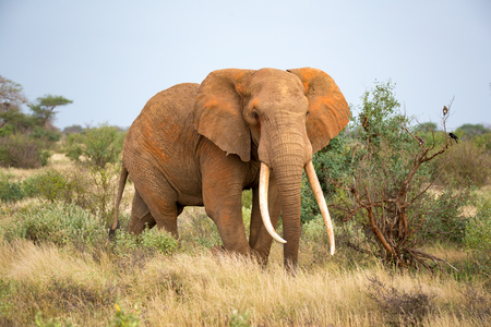 One elephant is walking between the bush Stockfoto