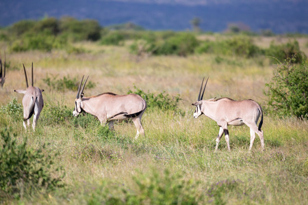 The antelopes in the grass landscape of Kenya