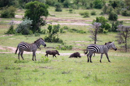 Some zebras run and graze in the savannah
