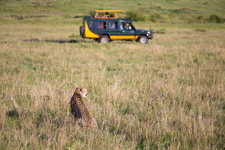 One cheetah in the grass landscape between the bushes