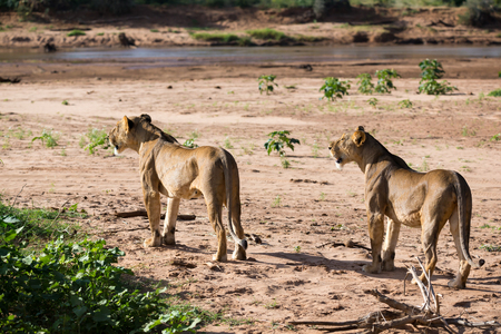 The lions walk along the banks of a river