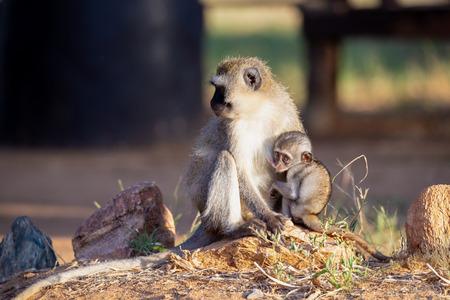 El mono con un mono bebé en el brazo.