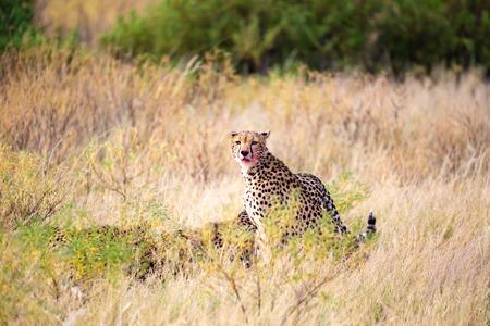 The cheetah eating in the middle of the grass