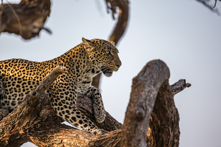 One leopard rests on the branch of a tree Imagens