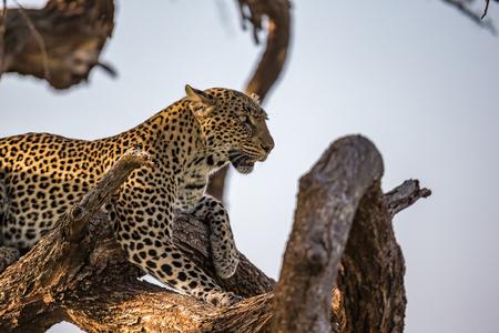Un leopardo riposa sul ramo di un albero Archivio Fotografico