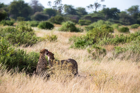The cheetahs brush each other after the meal