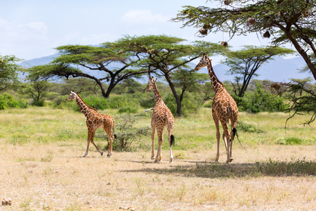 A several giraffes are walking through the grassland
