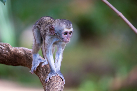 One little monkey walks along a branch